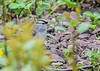 """<div class=""""jaDesc""""> <h4>White-Crowned Sparrow Venturing Out - May 4, 2019</h4> <p>This one was headed for the brick walkway where I spread white millet seed.</p></div>"""
