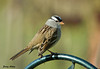 """<div class=""""jaDesc""""> <h4> White-crowned Sparrow - October 21, 2009 </h4> <p>This is one of 4 adult White-crowned Sparrows migrating through.  I transplanted some red-twig dogwood bushes closer to our front door this summer.  All the sparrows seem to like the extra cover they provide near the feeders.</p> </div>"""