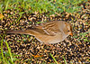 """<div class=""""jaDesc""""> <h4>Immature White-crowned Sparrow - October 13, 2007 </h4> <p> Our usual fall migration of White-crowned Sparrows has begun.</p> </div>"""