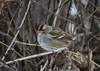 """<div class=""""jaDesc""""> <h4> Immature White-Crowned Sparrow in Thicket - January 1, 2013 </h4> <p> On our Christmas Bird Count, we saw a group of 5 small birds moving through thickets along the road.  The kept moving ahead of our vehicles, so I moved my truck over to the other side of the road and was able to pull up beside them.  They turned out to be immature White-crowned Sparrows.  Their tan and brown head stripes will turn white and black as they mature.</p> </div>"""