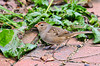 """<div class=""""jaDesc""""> <h4> Immature White-Crowned Sparrow Migrating - October 9, 2013 </h4> <p> It is that time of year when the White-crowned Sparrows are migrating South.  This immature bird was ground feeding on our brick walkway.</p> </div>"""