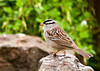 """<div class=""""jaDesc""""> <h4> White-crowned Sparrow on Rock - May 11, 2013 </h4> <p> Three White-crowned Sparrows showed up this morning.  They were happily ground feeding under the bushes in our backyard where I toss white millet seed.</p> </div>"""