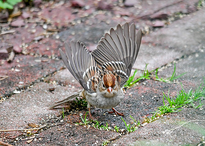 Immature White-Crowned Sparrow Guarding Space - October 6, 2018 When a Chipping Sparrow started moving into his space, he warned it off with a full wing spread display.