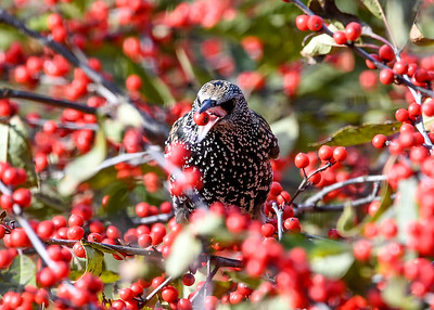 Starling - Flipping Winterberry with Tongue - November 5, 2020