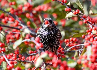 Starling - Ready to Swallow Winterberry - November 5, 2020