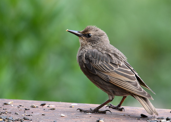 """<div class=""""jaDesc""""> <h4> Juvenile Starling At Table Feeder -  July 5, 2016</h4> <p>This juvenile Starling is from the second round of eggs.  The Starling parents are ahead of their normal schedule this year.</p> </div>"""