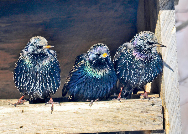"""<div class=""""jaDesc""""> <h4> Starlings Staying Warm - February 12, 2014</h4> <p> Every morning the Starlings come in for suet that I put out for them.  Then they huddle together in one of the feeder boxes out of the frigid wind to stay warm in the morning sunshine.</p> </div>"""