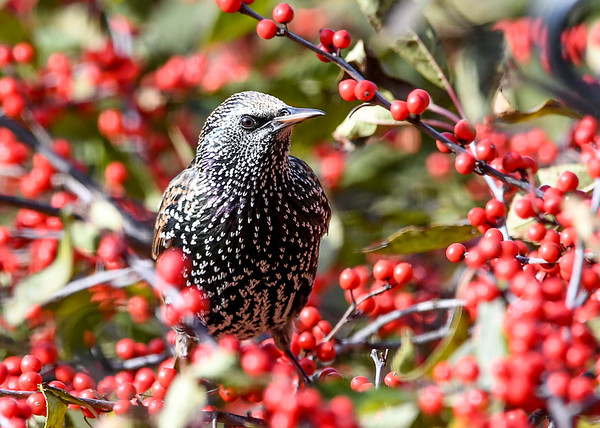 """<div class=""""jaDesc""""> <h4>Starling - Too Many Choices - November 5, 2020</h4> <p>This adult Starling in winter  plumage is trying to decide which winterberry to grab first.</p> </div>"""