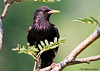 """<div class=""""jaDesc""""> <h4> Starling After a Bath - June 17, 2007 </h4> <p> Just after finishing a bath in our water garden pool, this starling perched on a nearby branch to dry off.</p> </div>"""