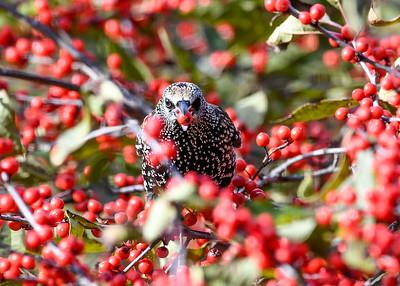 Starling Grabs Winterberry - November 5, 2020