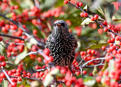 Starling - Winterberry Down the Hatch - November 5, 2020
