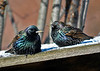"<div class=""jaDesc""> <h4> Starling Pair in Frigid Weather - January 8 2015</h4> <p>This Starling pair had just finished eating my homemade suet.  They were fully fluffed trying to stay warm in the zero degree windchill.</p> </div>"