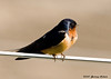 """<div class=""""jaDesc""""> <h4> Barn Swallow Posing - May 12, 2007</h4> <p>When the sun catches the Barn Swallows just right, their beautiful coloring really sparkles.  This male was taking a break from food runs to the nest in the barn.   </p> </div>"""
