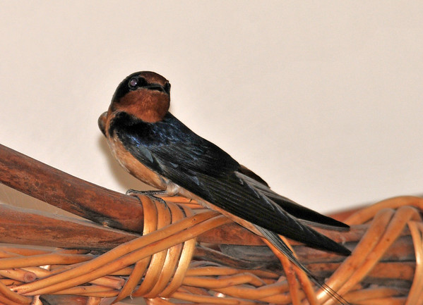 """<div class=""""jaDesc""""> <h4> Barn Swallow in House - May 11, 2014 </h4> <p> Our Barn Swallows started out in our barn, then they moved to our garage and are using last year's nest.  A frantic courtship chase was on and they both accidentally flew in through our open porch door.  This one perched on a basket on top of a hutch in our living room; the other on a window sill in the kitchen.  We opened all three doors in our living room and dining room.  It took us 30 minutes to finally encourage both of them back outside.</p> </div>"""