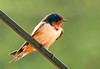 """<div class=""""jaDesc""""> <h4> Male Barn Swallow Resting - June 30, 2011</h4> <p>The plant hangers on our porch are popular perches for the Barn Swallows. This male is taking a break from zooming around catching bugs to feed the youngsters.  </p> </div>"""