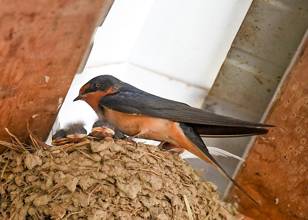 """<div class=""""jaDesc""""> <h4>Baby Barn Swallows Napping - June 19, 2018 </h4> <p>Getting some sleep between meals.</p> </div>"""