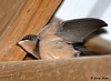 """<div class=""""jaDesc""""> <h4> Barn Swallows Leave the Nest - July 28, 2009</h4> <p>The barn swallow parents kept flying through the barn without stopping to feed the chicks.  They were telling the chicks it was time to leave the nest.  After about 10 minutes of encouragement, both chicks began flying around the barn landing briefly on the rafters. They quickly figured out how to get through the open doors and were off to zoom around with their parents.  </p> </div>"""