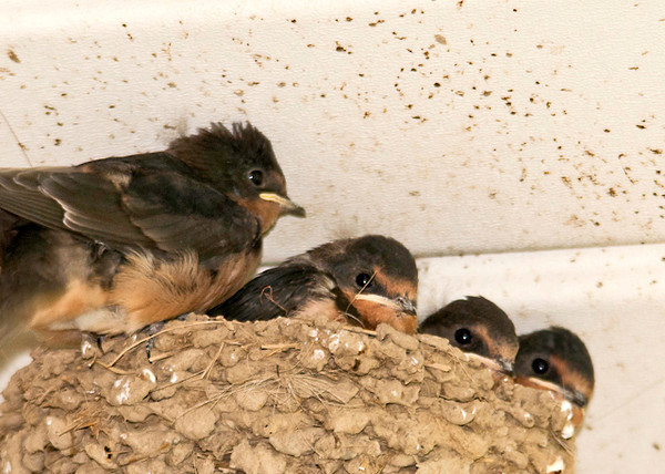 """<div class=""""jaDesc""""> <h4> Barn Swallow Chicks in Nest - May 28, 2013 </h4> <p> The 4 Barn Swallow chicks in the nest on our porch floodlight are starting to fill up the nest.  The one on the left is already starting to flap his wings.  They will be ready to leave the nest in a few days. </p> </div>"""
