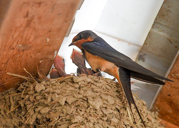 """<div class=""""jaDesc""""> <h4> Hungry Baby Barn Swallows - June 19, 2018 </h4> <p>Our Barn Swallows have 3 chicks that are hungry all day long.</p> </div>"""