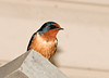 """<div class=""""jaDesc""""> <h4> Barn Swallow Watching Over Nest - May 28, 2011</h4> <p>While the female sits on the eggs, the male Barn Swallow perches on the chimney slate on the other side of the porch door from the nest on top of the floodlights.  </p> </div>"""
