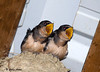 """<div class=""""jaDesc""""> <h4> Hungry Barn Swallow Chicks #1 - July 28, 2009</h4> <p>We have a Barn Swallow nest in the very peak of our horse barn.  These two chicks are demanding to be fed as one of the adults enters the barn.  They look like they will be leaving the nest soon. </p> </div>"""
