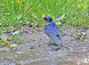 """<div class=""""jaDesc""""> <h4> Barn Swallow Collecting Mud for Nest - May 14, 2010</h4> <p>For the 4th year in a row, Barn Swallows are nesting in our barn. They collect mud from rain puddles to build their nests that they attach to the side of the peak of a truss. </p> </div>"""