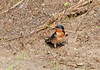 """<div class=""""jaDesc""""> <h4> Barn Swallow Collecting Material for Nest - May 25, 2011</h4> <p>Barn Swallows are are building a nest on the flood lights on our porch again. They collect grass and mix it with mud to build their bowl shaped nest.  </p> </div>"""