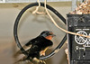 "<div class=""jaDesc""> <h4> Mom Barn Swallow Resting - June 23, 2014 </h4> <p> The adult Barn Swallows take a break once in awhile between constant food runs.  The cord loop on the garage door opener unit makes the perfect perch right next to the nest.</p> </div>"