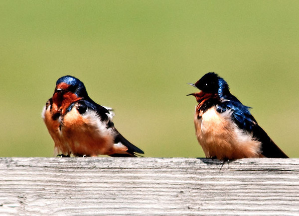 """<div class=""""jaDesc""""> <h4> Barn Swallows - I Love You - April 29, 2012</h4> <p>  This pair of Barn Swallows was taking a break from zooming around the horse pastures. They were carrying on quite a complex conversation.</p> </div>"""
