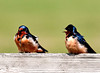 "<div class=""jaDesc""> <h4> Barn Swallows - I Love You - April 29, 2012</h4> <p>  This pair of Barn Swallows was taking a break from zooming around the horse pastures. They were carrying on quite a complex conversation.</p> </div>"