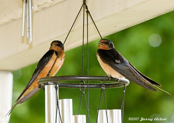 """<div class=""""jaDesc""""> <h4> Barn Swallow Pair- July 20, 2007</h4> <p>This pair of Barn Swallows were taking a break from feeding 6 babies.  The chimes ring made a great perch for them to keep an eye on me and the nest.   </p> </div>"""