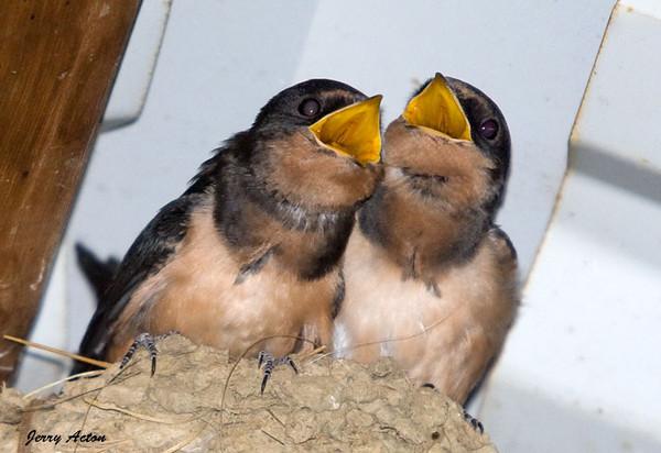 "<div class=""jaDesc""> <h4> Hungry Barn Swallow Chicks #2 - July 28, 2009</h4> <p> </p> </div>"