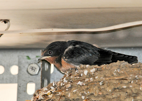 """<div class=""""jaDesc""""> <h4> Baby Barn Swallow Waiting for Food - June 23, 2014 </h4> <p> This is one of two baby Barn Swallows in the nest on the garage door opener in our garage.  They are just about ready to leave the nest.</p> </div>"""