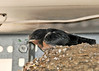 "<div class=""jaDesc""> <h4> Baby Barn Swallow Waiting for Food - June 23, 2014 </h4> <p> This is one of two baby Barn Swallows in the nest on the garage door opener in our garage.  They are just about ready to leave the nest.</p> </div>"