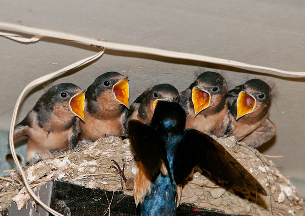 """<div class=""""jaDesc""""> <h4> Barn Swallow Chicks on Garage Door Opener - June 23, 2012</h4> <p>  A pair of Barn Swallows nested on top of our garage door opener again this year. The chicks are now just about ready to leave the nest. Mom and Dad have been working hard to feed the 5 hungry mouths.</p> </div>"""