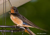"""<div class=""""jaDesc""""> <h4> Barn Swallow Watching - July 20, 2007</h4> <p>This barn swallow was watching me very closely as I set up to take his picture.  His mate is behind him. </p> </div>"""