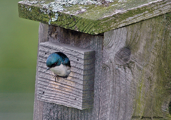 "<div class=""jaDesc""> <h4>Baby Tree Swallow Peeking Out - June 4, 2006 </h4> <p>This baby Tree Swallow is ready to leave the nest.  The day after I first saw its head, all 4 of the babies left the nest and were lined up with their parents along the pasture fence wire.</p> </div>"
