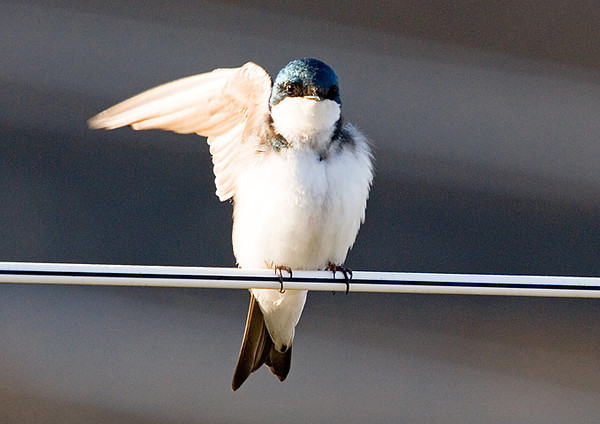 "<div class=""jaDesc""> <h4>Tree Swallow Waving - April 14, 2008 </h4> <p>I believe this is the female of the Tree Swallow pair. She was stretching in the chilly morning sun, but it kind of looked like she was waving to me.  I talked to her as I moved within 10 feet.</p> </div>"