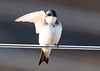 """<div class=""""jaDesc""""> <h4>Tree Swallow Waving - April 14, 2008 </h4> <p>I believe this is the female of the Tree Swallow pair. She was stretching in the chilly morning sun, but it kind of looked like she was waving to me.  I talked to her as I moved within 10 feet.</p> </div>"""