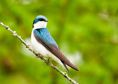 """<div class=""""jaDesc""""> <h4> Tree Swallow Resting - May 18, 2013</h4> <p> While I was walking along the edge of a wooded area, this Tree Swallow zoomed over my head and landed in a nearby tree.</p> </div>"""