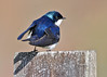 "<div class=""jaDesc""> <h4> Tree Swallow Leaning into Wind - May 5, 2014</h4> <p> The Tree Swallows have been back for about a month now.  They have their mates and have selected nestboxes.  The angle of the morning sun on this guy was showing off his deep blue color.  Photos taken at a neighbors yard.</p> </div>"