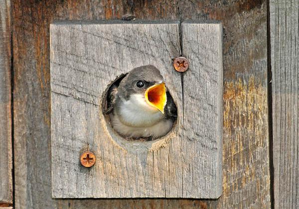 "<div class=""jaDesc""> <h4>Tree Swallow Chick - Tracking Mom Inbound - June 27, 2010 </h4> <p>  </p> </div>"
