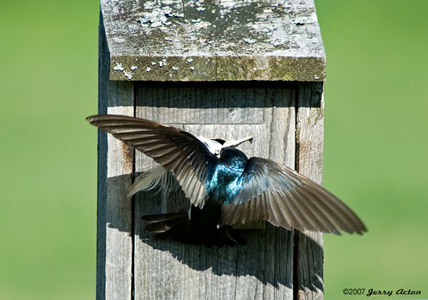 "<div class=""jaDesc""> <h4>Tree Swallows Building Nest - May 4, 2007 </h4> <p>Tree Swallows always line their nest with downy white feathers.  Getting a 4 inch feather through a 1 inch hole can be a real challenge.  I watched this process unfold, and on the fifth try the feather was pulled through shaft first from inside the hole.</p> </div>"