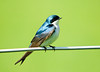 """<div class=""""jaDesc""""> <h4>Male Tree Sparrow Taking a Break - May 5, 2008 </h4> <p>This is the male tree sparrow that is working with its mate to build a nest in a nest box along our horse pasture.</p> </div>"""