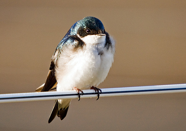 """<div class=""""jaDesc""""> <h4>Tree Swallow on Chilly Morning - April 14, 2008 </h4> <p>A pair of tree swallows were perched on a horse pasture fence wire warming themselves in the morning sun on a chilly morning.  This male of the pair was fluffed for warmth.</p> </div>"""