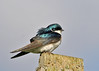 "<div class=""jaDesc""> <h4> Tree Swallow Not Fazed by Wind - May 5, 2014</h4> <p> This is the same male Tree Swallow with the light hitting him at a different angle.  Here he is a lighter blue and brown.</p> </div>"