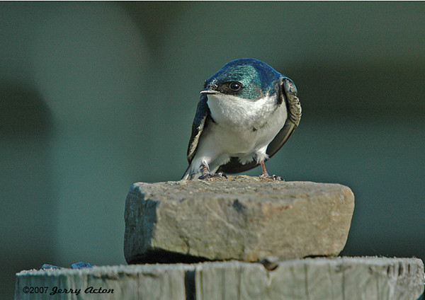 "<div class=""jaDesc""> <h4>Tree Swallow on Fence Wire - May 12, 2006 </h4> <p>I was near the nest box while taking this shot of a Tree Swallow. He was on guard duty and not too happy with my presence.</p> </div>"