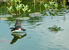 """<div class=""""jaDesc""""> <h4>Tree Swallow Getting Drink in Pond - May 30, 2006 </h4> <p>This Tree Swallow dipped his beak in the water twice as he zoomed by at high speed. I spent all day to get 2 usable shots.</p> </div>"""