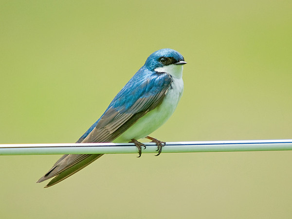 """<div class=""""jaDesc""""> <h4> Male Tree Swallow Perched Next to Nest Box - June 2, 2009</h4> <p> The male Tree Swallow patiently waits on a fence wire beside the nest box while the female stays inside with the chicks.  They chatter back and forth to each other.</p> </div>"""