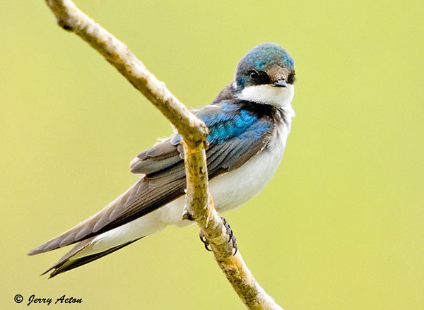 """<div class=""""jaDesc""""> <h4>Female Tree Swallow Posing - May 10, 2007 </h4> <p>The Tree Swallows arrived a week ago and are gracing our sky with aerial acrobatics.  They take a break periodically to check out the nest boxes.</p> </div>"""
